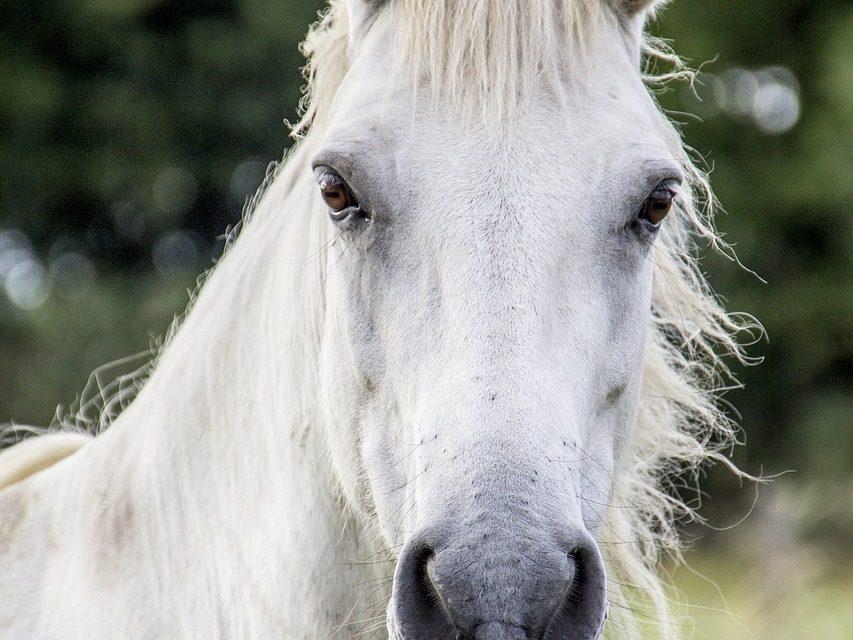 त्यो तिब्बती घोडा